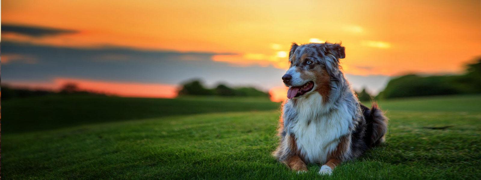 dog-sunset-cbd