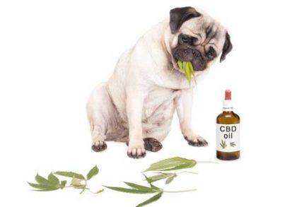dog cbd oil eating leaves