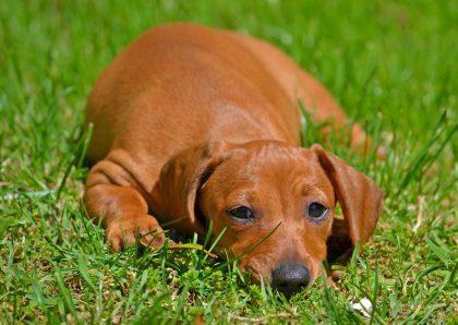 dog-on-grass-stressed