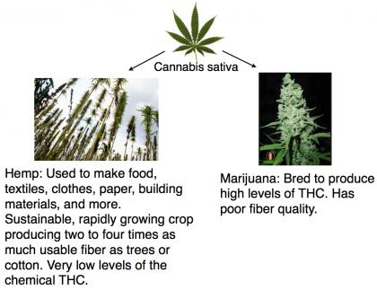 difference-hemp-marijuana
