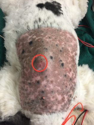 mast-cell-tumor-dog