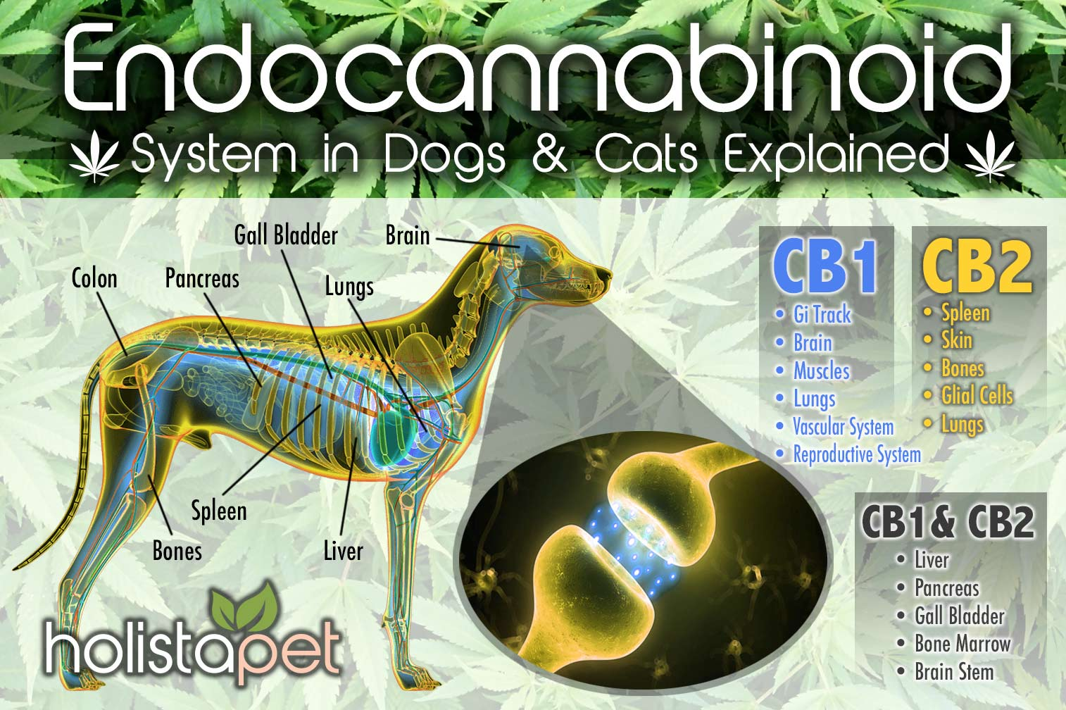 Endocannabinoid System In Dogs Amp Cats Explained Holistapet