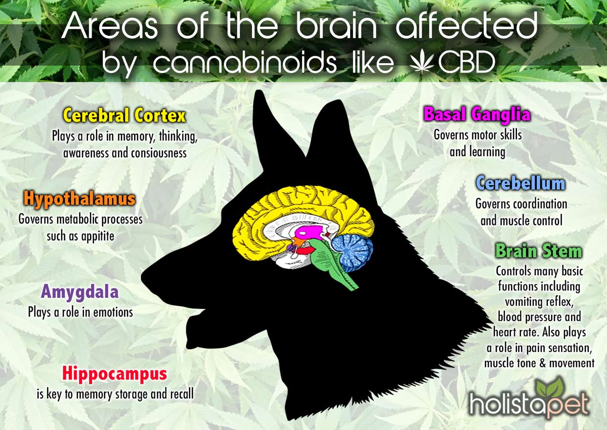 areas-of-brain-affected-by-cannabinoids-in-dogs-explained