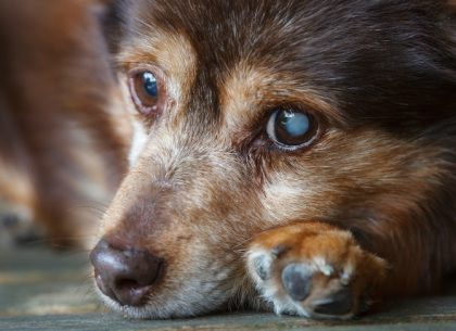 diabetes-dogs-cloudy-eyes