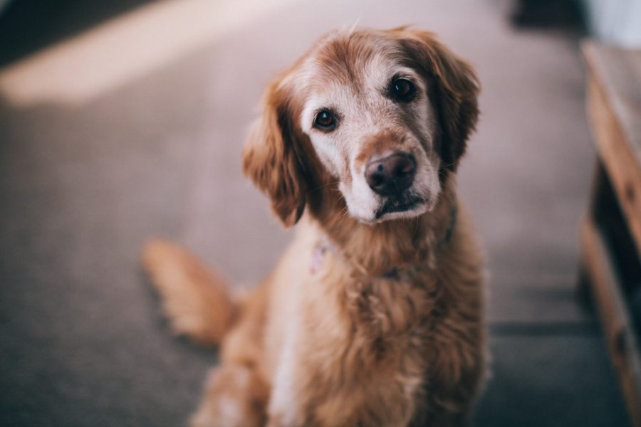 Cbd And Hemangiosarcoma In Dogs Explained Holistapet