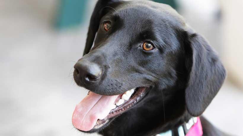 Oral_melanoma-in-dogs-happy-doggy