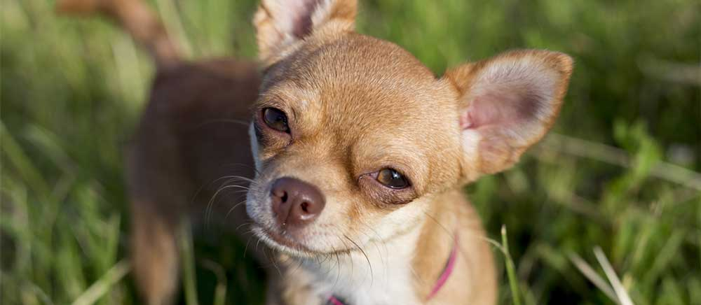 cannabidiol for chihuahua seizures works well with dogs